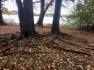 Baumwurzeln Herbstwald