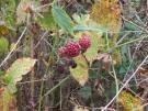 Brombeeren im Herbst