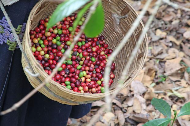Die Früchte der Kaffeesorte Arabica reifen langsam und enthalten wenig Feuchtigkeit. Foto: djd/Herbaria Kräuterparadies