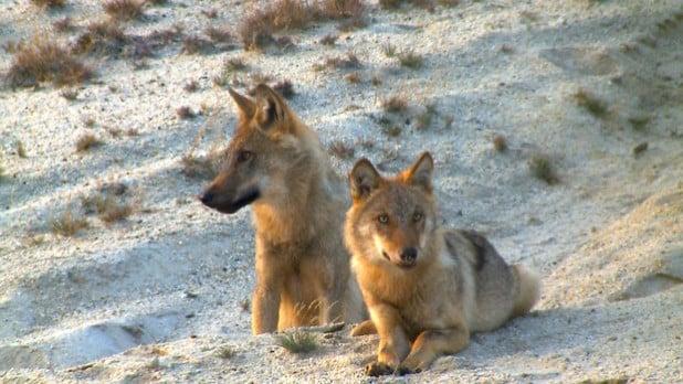 Wolfswelpen in der Lausitz (Foto: Sebastian Körner)