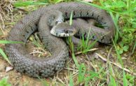 NABU Oberberg informiert – Keine Angst vor Schlangen