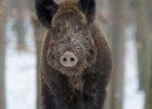 Tierseuchenübung zur Bekämpfung der Afrikanischen Schweinepest