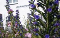 Wiehl blüht auf – 7500 Blumen-Zwiebeln gegen das Insektensterben