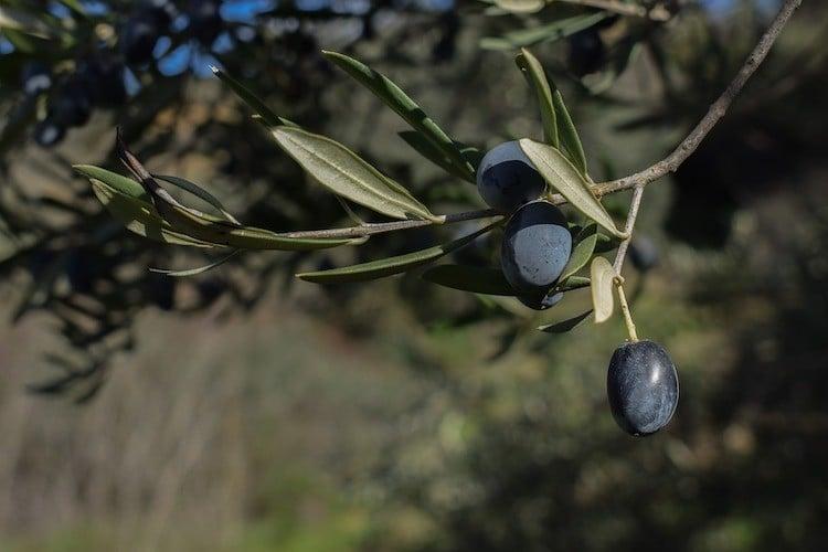 2020-11-19-Olivenbaum